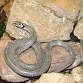 Mujer Serpiente en el amor