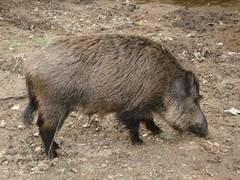 jabali cerdo