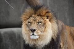 lion signo