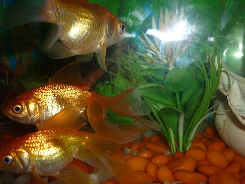 Qu amuleto elegir para atraer el dinero seg n tu signo for Imagenes de peces chinos