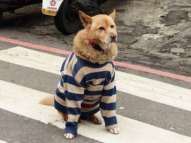 C mo hacer ropa para perros de un viejo jersey - Como quitar los pelos de perro de la ropa ...